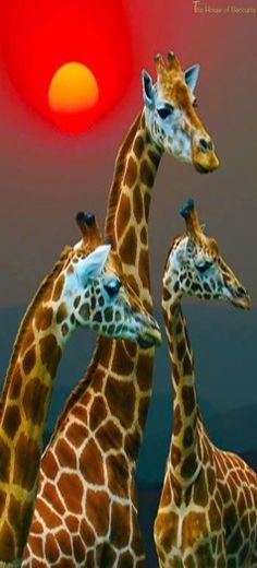 ~Giraffe Sunset | The House of Beccaria