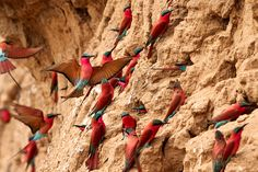 Carmine Bee-Eaters colony on the banks of the South Luangwa River, Zambia