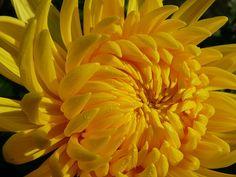 Photo Diary: National and State Flowers Unusual Flowers, Beautiful Flowers, Flower Yellow, Home Flower Arrangements, Crysanthemum, Yellow Chrysanthemum, Macro Flower, Photo Diary, Zinnias