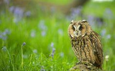 Short eared owl in the bluebells