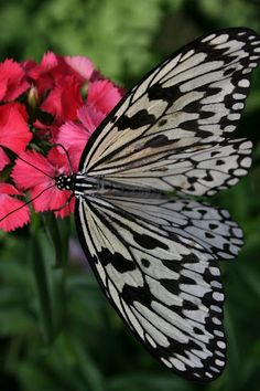 Krohn conservatory butterfly show. Hot pink, pale pink, silver grey and black color scheme inspiration.