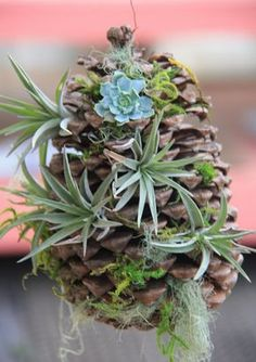 Halls with Boughs of Succulents Larger pine cone with succulents and air plants for a festive holiday decoration!Larger pine cone with succulents and air plants for a festive holiday decoration! Plant Stand, Air Plants Care, Plants, Succulents, Ornamental Plants, Container Gardening, Indoor Plants, Air Plants, Planting Succulents