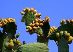 Kıbrıs Adası Bitki Örtüsü Babutsa!