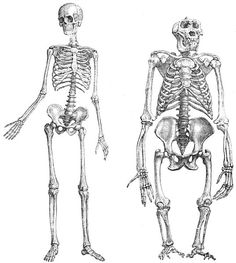 Comparison between human and gorilla skeletons. (Gorilla in non-natural stretched posture.)