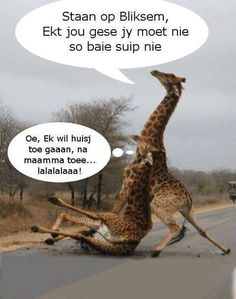 Giraffes often slip on tarred roads. Thus lions are known to chase them onto roads during a hunt. In this Afrikaans parody they are compared to a pair of drunks. Funny Signs, Funny Jokes, African Jokes, I Am An African, Tupac Pictures, Afrikaanse Quotes, Beautiful Love Quotes, Good Night Quotes, Twisted Humor