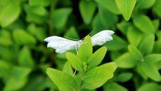 kali_merette2002 posted a photo:  Le Ptérophore blanc (Pterophorus pentadactyla)  Un petit papillon d'aspect fantastique, des ailes qui sont plutôt des plumes, des grandes pattes menues, le tout d'un blanc immaculé. Il se plaît dans les herbes de prairies de mai à septembre.(www.papillon-en-macro.fr/Papillons_en_photos.htm ) (www.sandrinephotos-espritnature.fr/index-fiche-40613.html )