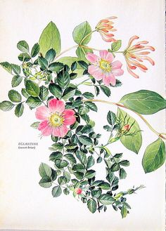 Sweet Briar Print: 1969 Vintage Colored Botanical Illustration