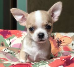 The 315 Best Chihuahua Names for Male and Female Dogs Chihuahua Love, Chihuahua Puppies, Chihuahua Names Boys, Puppy Names, Dog Names, Super Cute Puppies, Cute Dogs, Grey French Bulldog, Baby Animals