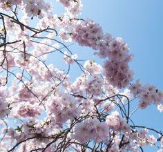 prunus serrulata - Sakura