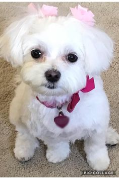 Photos Du, Dog Photos, Dog Pictures, Cute Little Dogs, Cute Dogs, Super Cute Puppies, Maltese Dogs, Dog Grooming, Small Dogs