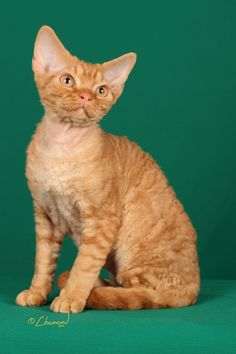 GP Jobara's Howard Kristofferson, aka Howie, red classic tabby Devon Rex. This was Howie at 4 mos. of age and his first show in Denver, CO.  He was the only kitten in that show to make all six finals!!  The marcel or rex coat is absolutely stunning.
