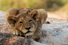 Africa | Young Lion.  Mpumalanga, South Africa | ©Marianne Agerbeek