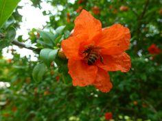 Fiore di melograno