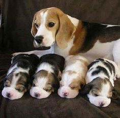 Little beagle puppies!!!