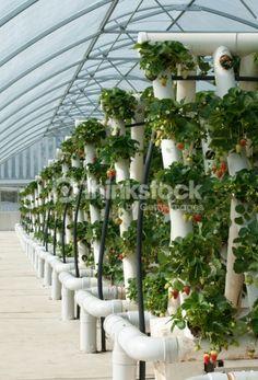 Vines fraises hydroponiques: Photo
