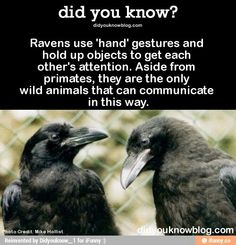 They can talk just like real people, too. Videos here > > > > Ravens use 'hand' gestures and hold up objects to get each other's attention. Aside from primates, they are the only wild animals that can. Beautiful Birds, Animals Beautiful, Raven And Wolf, Pet Raven, Funny Animals, Cute Animals, Wild Animals, Smart Animals, Jackdaw