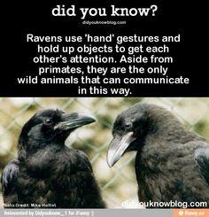 Raven info
