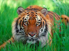 Малайзии тигр.