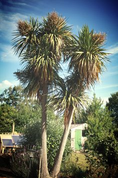 Cordyline australis, Cabbage Tree, Cabbage Palm, or Torquay Palm