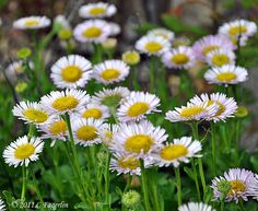 Seaside daisy-Native Oregon flowers