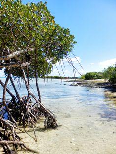 Mangrove, Poindimié
