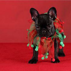 French Bulldog Puppy at Christmas.