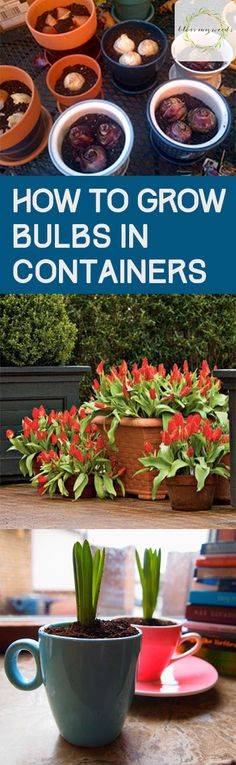 How to Grow Bulbs in Containers - Bless My Weeds