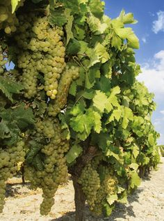 I'd never heard of Godello until a few years ago but this Spanish white grape variety is now a regular on U.K. wine shelves. What's more, it's here to stay; it's easy to pronounce, the wines taste good and, let's be honest, we all like to tell our mates about a 'new' wine.... http://www.snooth.com/articles/godello-wines-have-arrived/