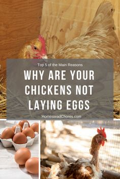 Have you ever wondered why are your chickens not laying eggs? If you do, we are going to uncover some reasons you need to know.