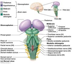 Three views of the brain stem (green) and the diencephalon (purple).