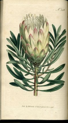 Botanical prints from the Curtis Botanical Images at the University of Iowa Libraries.