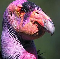 Condor: 2 species of New World vultures; largest flying land birds in the Western Hemisphere: Andean Condor, California Condor; Family: Cathartidae, Order: Ciconiiformes