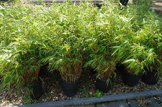 Vele soorten bamboe bij goedkopeolijfbomen.nl Phyllostachys Nigra, Florida, The Florida