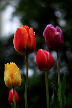 TulipS by Annie Japaud on Spring Blossom, Garden, Long Awaited, Plants, Annie, Butterfly, Tulips, Garten, Lawn And Garden