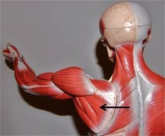 card image Arm Muscles, Shoulder Muscles, Major Muscles, Hand Therapy, Physical Therapy, Occupational Therapy, Massage Therapy, Infraspinatus Muscle, Pick A Part