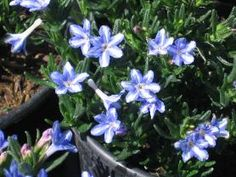Lithodora diffusa 'White star'
