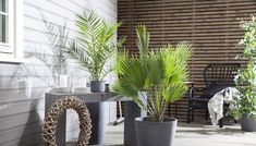 Phoenix palme er en flott og dekorativ palme som vil ha mye lys.