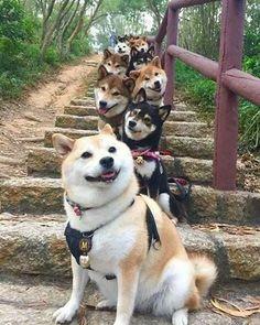 Shiba stairs