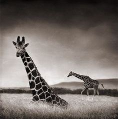 Nick Brandt's Africa in Black and White — Animal Talk Giraffes Nick Brandt, Out Of Africa, East Africa, Beautiful Creatures, Animals Beautiful, Giraffe Photos, Animals Black And White, Wild Creatures, African Animals