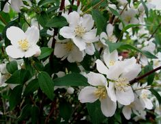 mock orange | MOCK ORANGE ( Philadelphus lewisii )  Mock orange should be pruned in spring immediately after flowering. Cut back the outer stems that have flowered. Make the cut just above and outer facing bud or a new shoot. The next year's mock orange blooms emerge from those buds