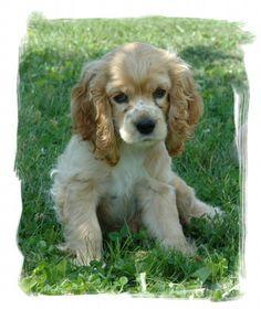 Cocker Spaniel Puppy - a cute blondie, like me! haha
