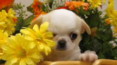 Latte is an adoptable Pekingese Dog in Salisbury, NC. Latte is a 10 wk old Chianese (PekeXChia) she came to Faithful friends through an owner who could no longer care for her and her siblings..This li...
