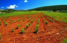 Attica vineyard