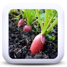Les radis - Le bulbe du radis est en général mangé cru, mais des spécimens plus durs peuvent être cuits à la vapeur. La chair crue a une texture croquante et une saveur poivrée.