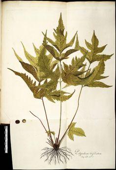 """Nicolaus Joseph von Jacquin (1727-1817), """"Polyplodium trifoliatum."""""""