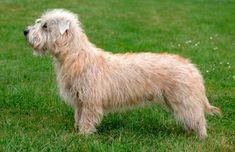 Originalmente denominado de Irish Glen of Imaal Terrier e nativo do Vale do Imaal, do Condado de Wicklow, na Irlanda, o Terrier Inglês do Glen do Imaal, foi desenvolvido com o propósito de ser um cão de fazenda para guardar e lidar com o gado, erradicando roedores e caçando raposas, texugos, lontras e martas. Para criar uma geração de cães de fazenda, a raça tinha de ser de estrutura pequena.   #IrishGlenofImaalTerrier #Raçadecachorro #TerrierIrlandêsdoGlendoImaal