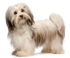 Grooming a Havanese Puppy | ... dog of cuba is best described as happy dog this toy breed is sturdily
