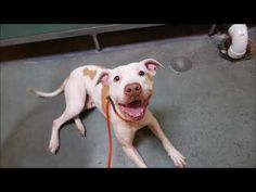 BARKLY – 10785. Hello, my name is Barkly. My animal id is #10785. I am a male white dog at the Brooklyn Animal Care Center. The shelter thinks I am about 5 years 1 weeks old.  I came into the shelter as a owner surrender on 25-Oct-2017, with the surrender reason stated as person circumstance- landlord won't allow.