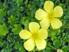 【カタバミ】 和名:カタバミ(酢漿草、片喰) 英名:Wood sorrel 古くから日本全国に分布する野草で、雨天や夜になると葉を中央で折るように閉じるという就眠運動をします。  酢漿草は生薬名で、片喰は傍食や片食、片葉三などとも書かれ「葉が何かに食べられたように欠けている」や「片葉が3つである」、「葉が茎の上方にだけ伸びて、下方には伸びない」など、名前の由来も諸説あります。  学名のOxalisはギリシャ語の酸性を意味するoxysが語源で、葉や茎に蓚酸を含み酸味があることが由来です。 種小名のcorniculataは角(つの)のあるの意で、実がロケット形をしていることに由来します。  カタバミ目:Oxalidales カタバミ科:Oxalidaceae カタバミ属:Oxalis カタバミ種:O. corniculata 学名:Oxalis corniculata