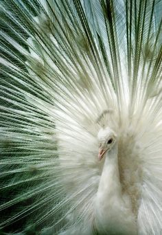 White Ostrich with translucent feathers